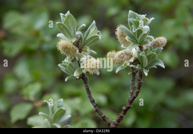 Woolly Willow (Salix lanata) male catkin flowers Svartifoss National Park Iceland Europe summer June - Stock Image