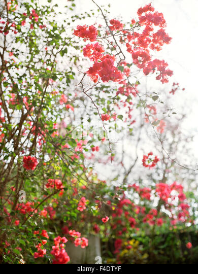 Flowers hug a wall at  Maroma Spa and Resort. Riviera Maya,Yucatan,Mexico. - Stock Image