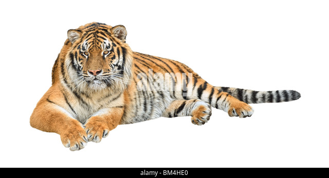 Siberian tiger (Panthera tigris altaica) isolated on white background - Stock Image