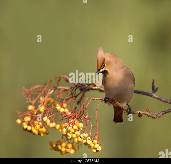 WAXWING Bombycilla garrulus  An adult perched in a distinct, yellow variety of rowan Nottinghamshire, UK - Stock-Bilder