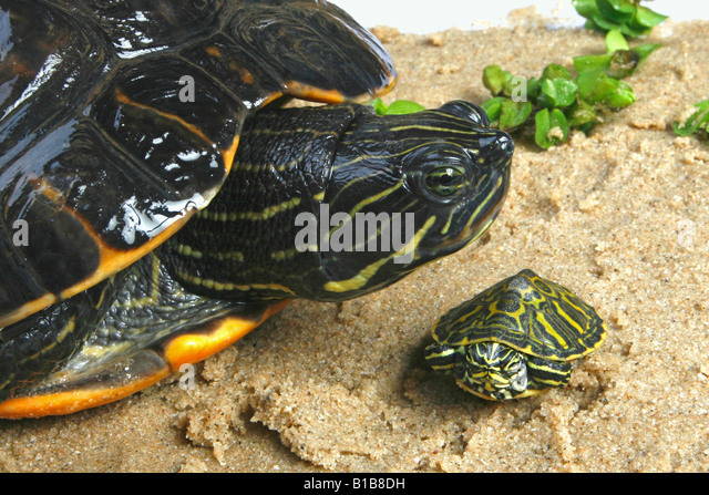 Bellied stock photos bellied stock images alamy for Trachemys scripta