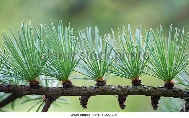 Larix x eurolepis. Dunkeld Larch tree needles - Stock Image