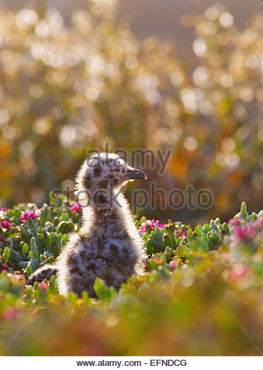 Western seagull chick [Channel Islands National Park] California - Stock-Bilder