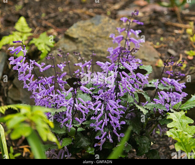 Plectranthus ciliatus  Keys  Lucid Key Server