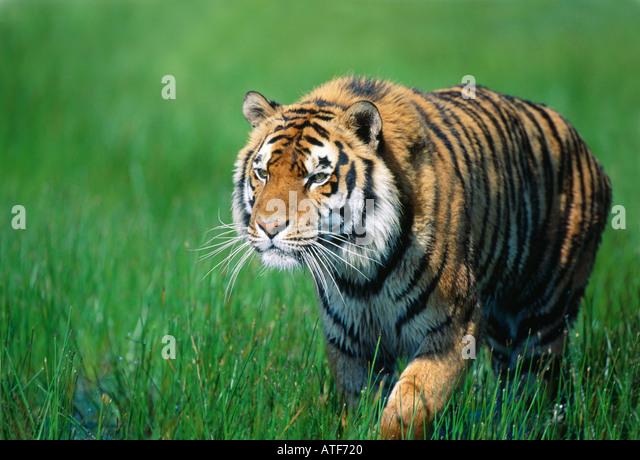 Bengal Tiger walking through the grass Wildlife model - Stock Image