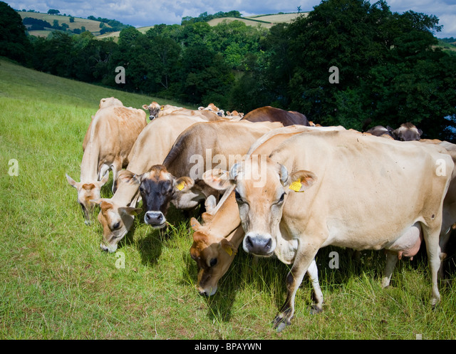 Jersey cattle grazing at Sharpham in Devon Britain - Stock Image