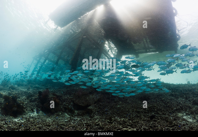 Bigeye jacks school under jetty.  Misool, Raja Empat, West Papua, Indonesia. - Stock Image