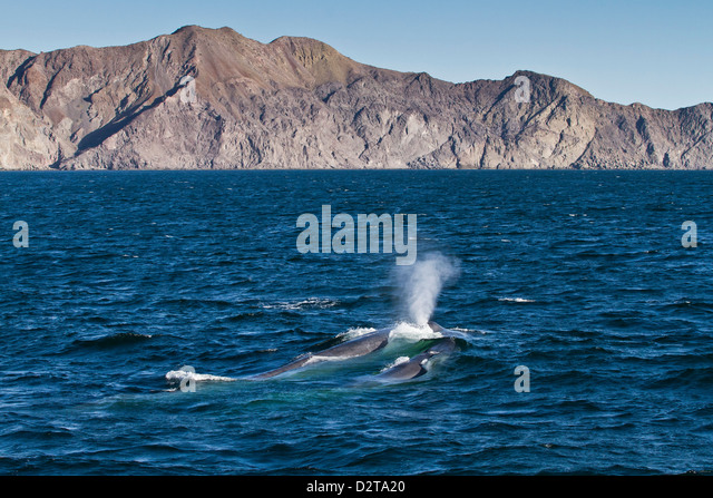 Blue whale cow (Balaenoptera musculus) and calf, southern Gulf of California (Sea of Cortez), Baja California Sur, - Stock Image