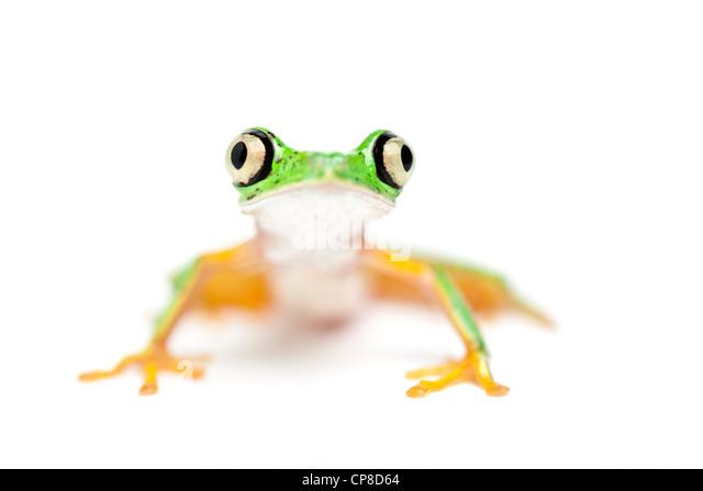 Lemur leaf frog, Phyllomedusa lemur, aka Hylomantis lemur, Costa Rica - Stock-Bilder