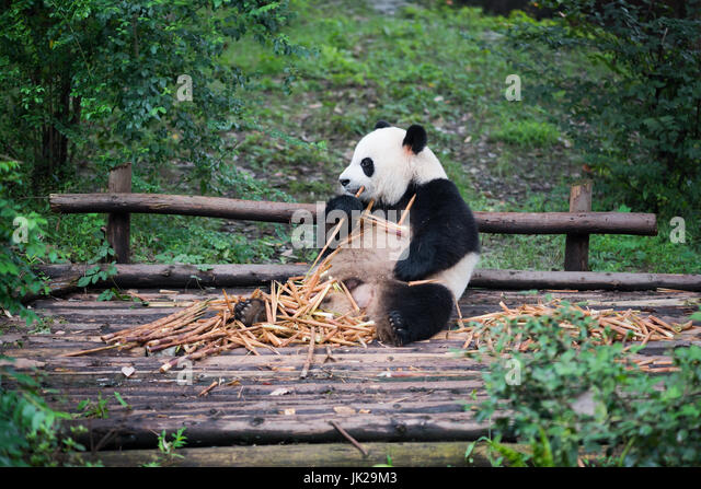 giant-panda-cub-eating-bamboo-and-lookin