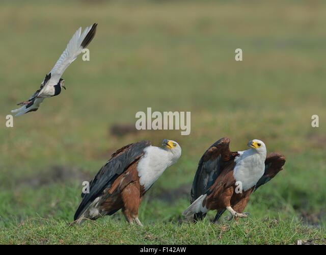 African fish eagle (Haliaeetus vocifer) pair evading the aerial attack of a Long toed lapwing (Vanellus crassirostris) - Stock Image