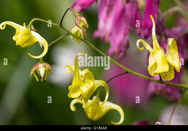 Small yellow spring flowers of the hybrid barrenwort, Epimedium 'Buckland Buzz' - Stock Image