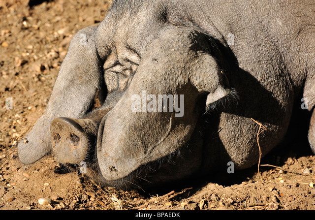 Asleep - A pig basking in the summer sunshine - Stock Image