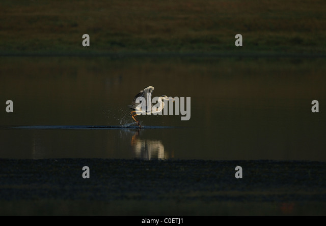 Grey heron fishing in the backwaters of a river near Bangalore, India - Stock Image