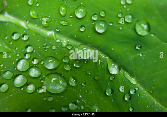 waterdroplets on the leaves in the rainforest at Casaroro Falls, nr Dumaguete, Negros, Philippines - Stock Image
