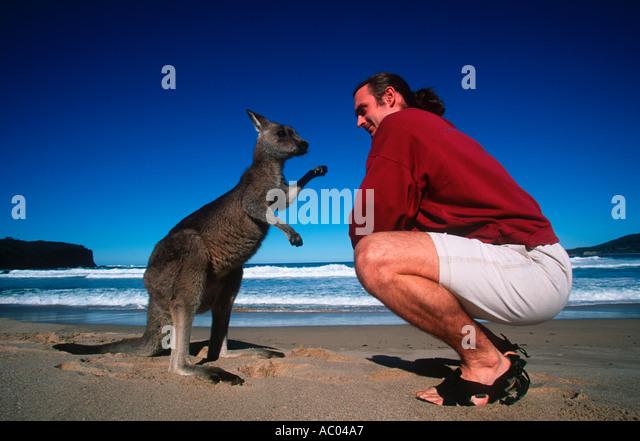 People Tourist meets a kangaroo on Pebbly Beach Model released Australia - Stock Image