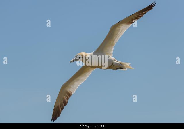 A northern gannet airborne in flight flying soaring soars against a blue sky; UK. - Stock Image