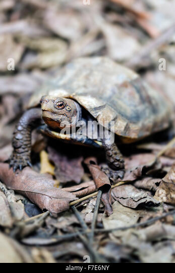 The endangered Keeled Box Turtle (Cuora mouhotii) in captivity at the Cuc Phuong Turtle Conservation Center in Vietnam. - Stock-Bilder
