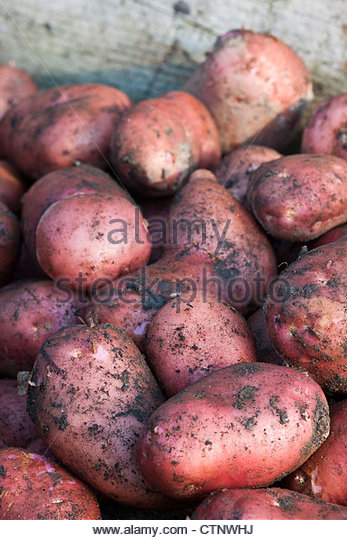 Potato Red Duke of York freshly dug harvested early main crop summer July home grown soil allotment organic kitchen - Stock Image
