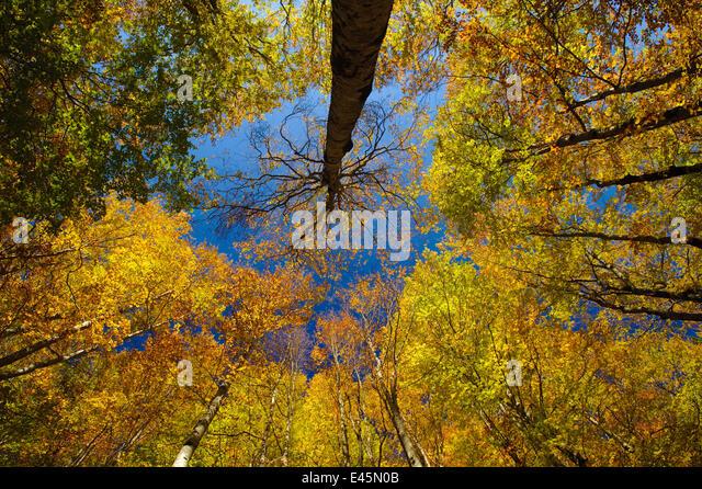 Looking up into European Beech (Fagus sylvatica)tree canopy in autumm colours.  Ordesa y Monte Perdido National - Stock Image