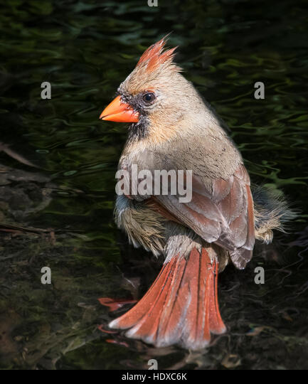Female Northern Cardinal (Cardinalis cardinalis) bathing - Stock Image