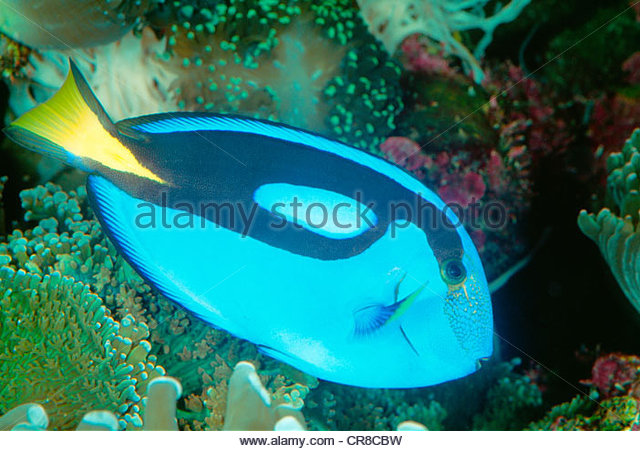 Close-up of a bright tropical fish. - Stock Image