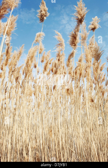 Close up low angle of wheat - Stock Image
