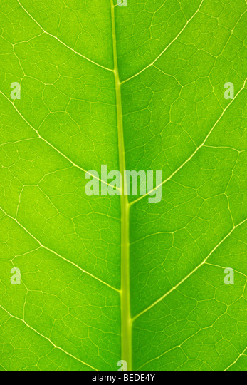 Structure of a leaf - Stock Image
