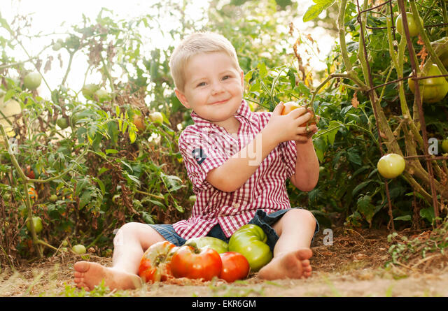 boy in homegrown garden picking and collecting heirloom tomatoes - Stock Image
