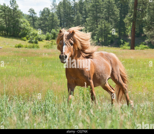 Miniature Horse stallion - Stock Image