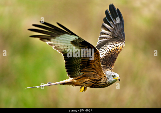RED KITE (Milvus milvus). Wales, UK - Stock Image