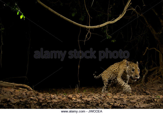 A wild jaguar sets off a camera trap set up to monitor jaguar movements in the Brazilian Pantanal. - Stock Image