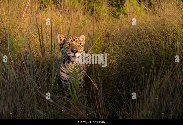 Jaguar among tall grasses in Central Brazil - Stock Image