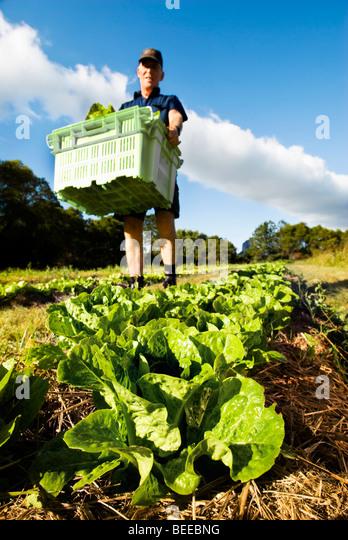 Harvesting lettuce - Certified Organic Producer - Stock Image