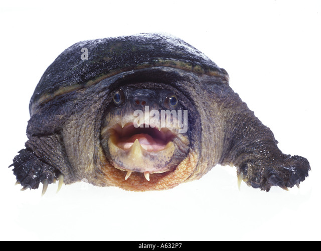 Musk Turtle  Letters