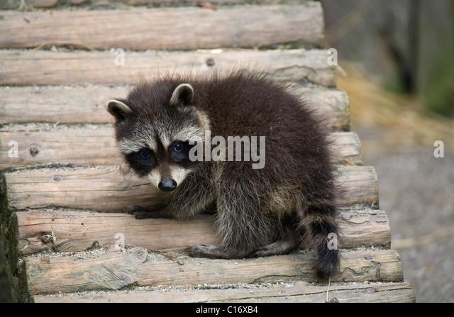 Young raccoon (Procyon lotor) - Stock Image