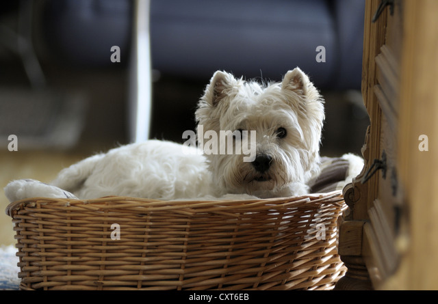 West Highland Terrier lying in a basket - Stock Image