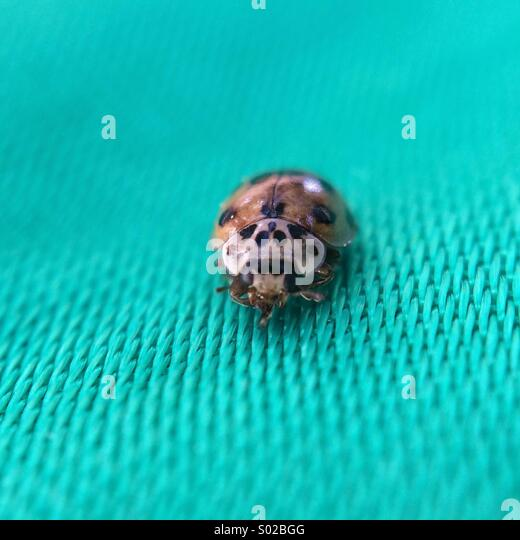 Front view of a brown ladybug - Stock Image
