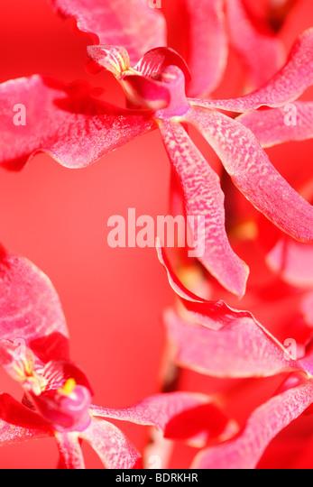 amazing azima mokara orchid - fine art photography Jane-Ann Butler Photography JABP570 - Stock Image