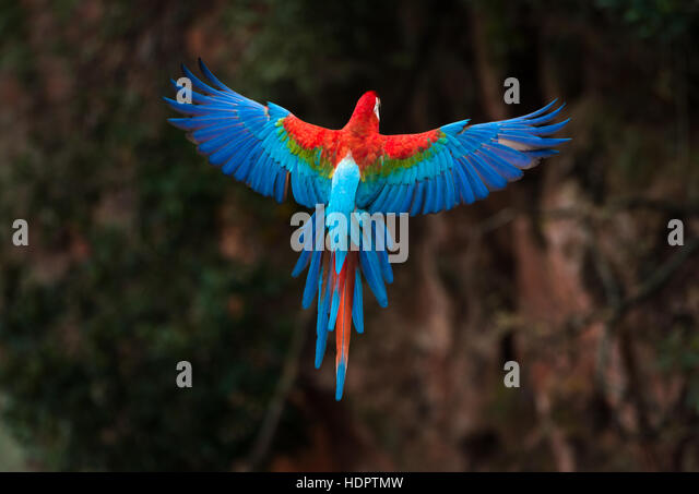 A Red-and-green Macaw preparing to land in a sinkhole vertical walls. - Stock Image