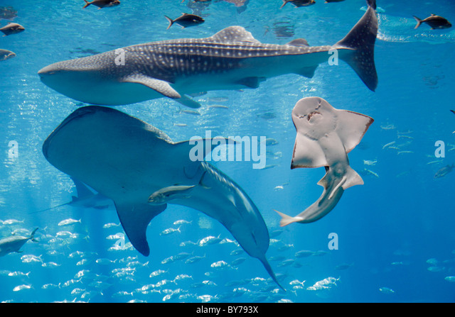 Atlanta Georgia Pemberton Place Georgia Aquarium saltwater habitat marine life fish whale angel shark world's - Stock Image