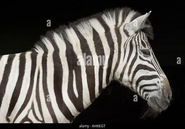Chapman's zebra - portrait - Stock Image