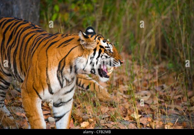 Bengal Tiger, Bandhavgarh National Park, Madhya Pradesh, India - Stock-Bilder