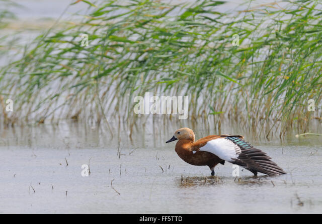 Ruddy shelduck (Tadorna ferruginea) near Manych lake reed. Kalmykia, Russia - Stock Image