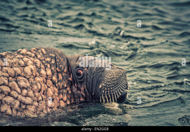 Scared or scary close up of a Walrus, Odobenus rosmarus, in the water, color altered for effect, Svalbard Archipelago, - Stock Image