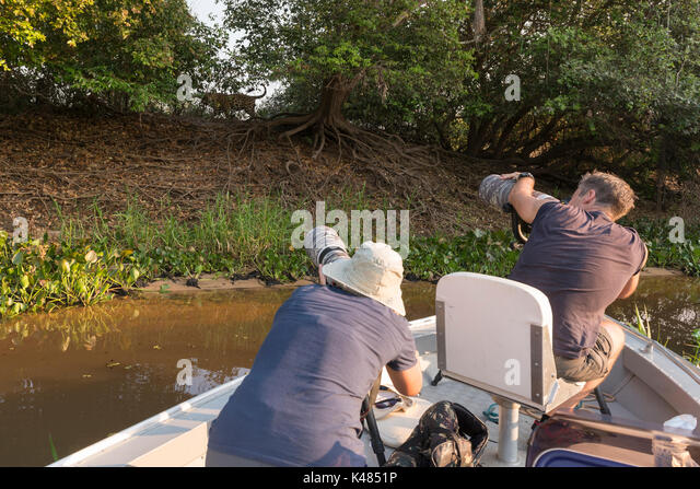 Tourists photographing a Jaguar in North Pantanal, Brazil - Stock Image