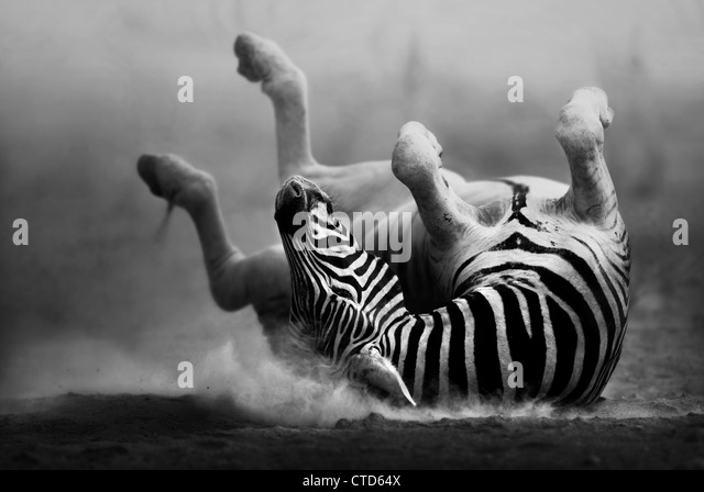 Zebra rolling on dusty white sand  (Artistic Processing) Etosha National Park - Namibia - Stock Image