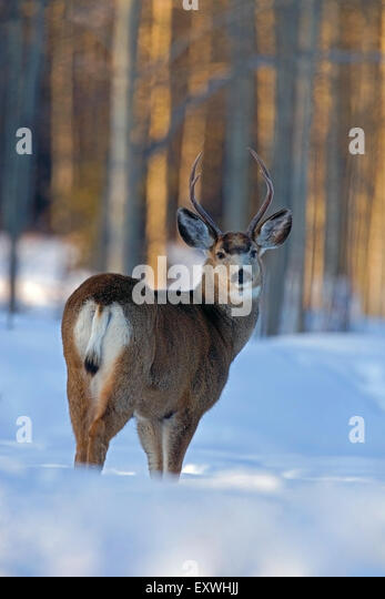 Mule Deer Buck standing in deep snow at edge of forest - Stock Image