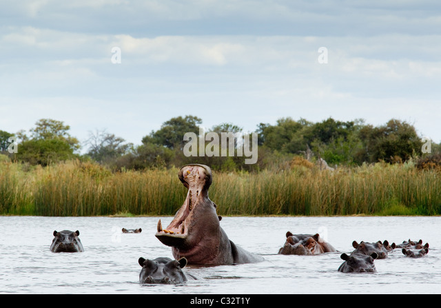 Belligerent hippo in river - Stock-Bilder