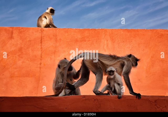 India, Rajasthan, Jaipur, indian monkeys at the Amber Fort - Stock-Bilder